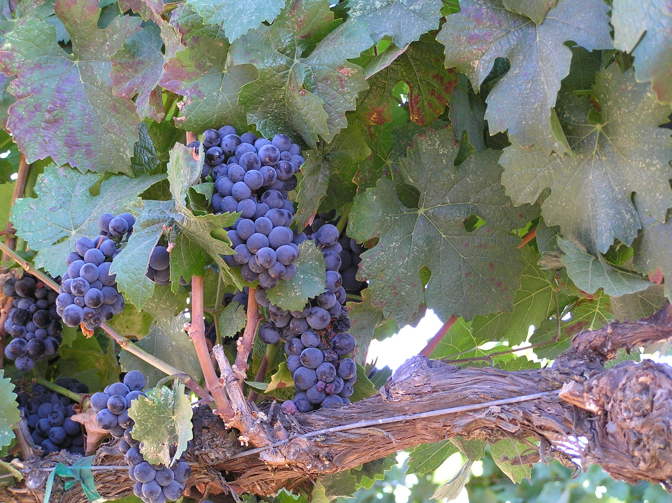 Pinot Noir in the Vineyard   Paso Robles Wine Country Alliance