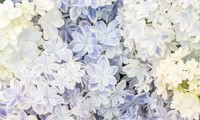 紫陽花2(小)