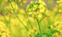 菜の花(小)