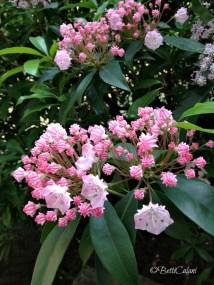 Kalmia latifolia_1