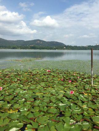 lago di Comabbio - ninfee
