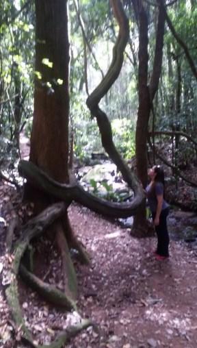 As árvores na trilha impressionam - Foto: Patrícia Ribeiro/ Passeios Baratos em SP