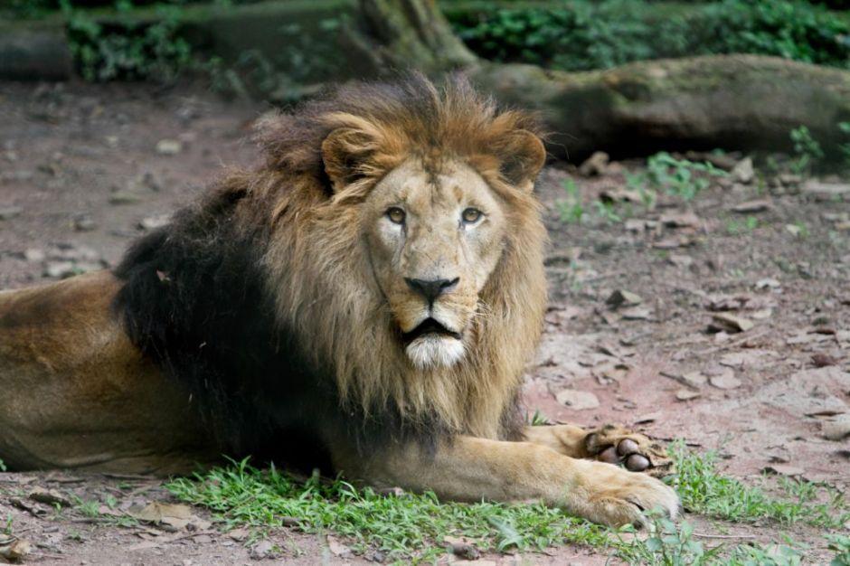 O leão é um dos animais de hábitos noturnos. Foto: José Cordeiro/SPTuris