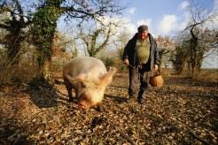 caçando com porcos