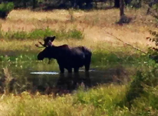 See? I didn't make that moose bit up!