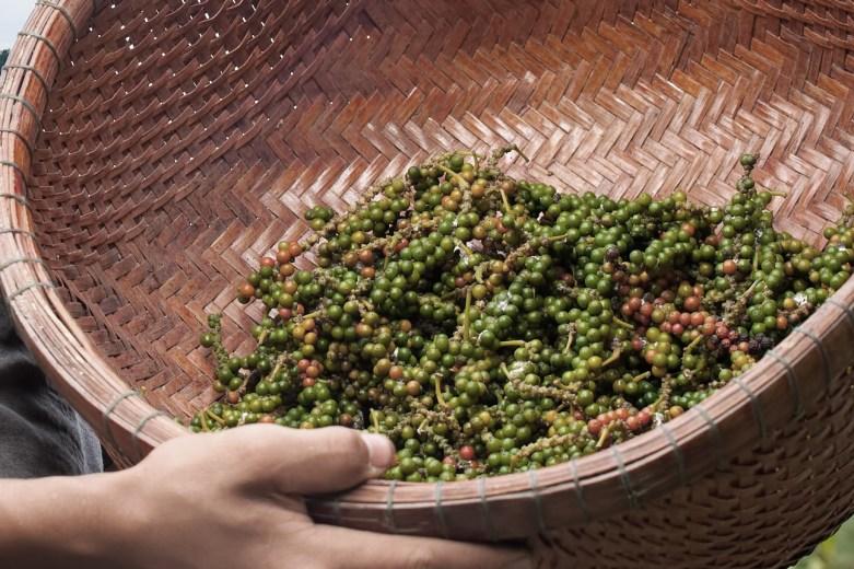 récolte de poivre
