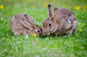 european rabbits, bunnies, grass