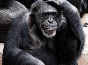 Intelligentie IQ test aap