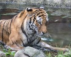 Amur Tiger laying in pool