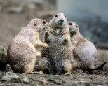 A colony of Prairie Dogs was quite comical.