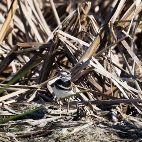 Killdeer at edge of marsh