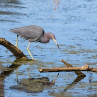 Little Blue Heron Looking Around