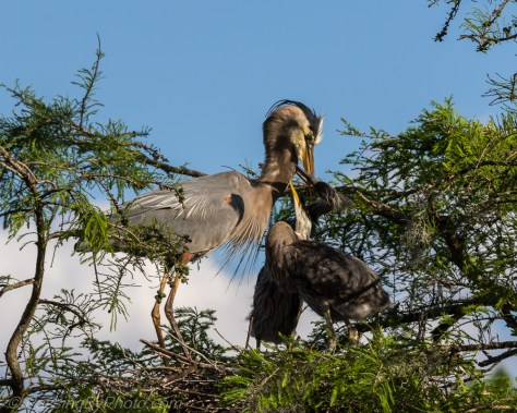 Great Blue Heron Chicks Greeting Adult