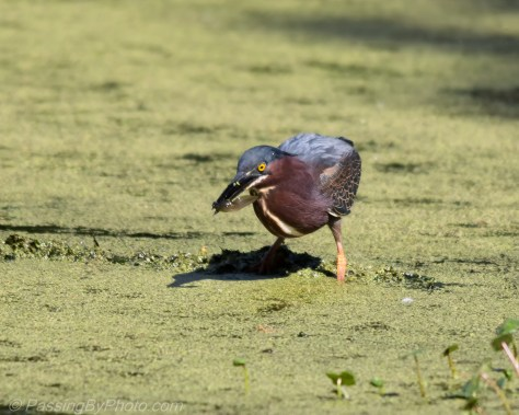 Green Heron with small catch for lunch