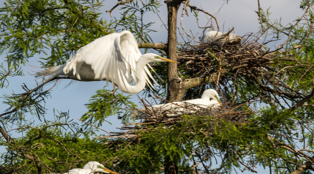 Great Egret Fly By