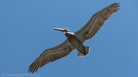 Pelican Gliding Over Charleston Harbor