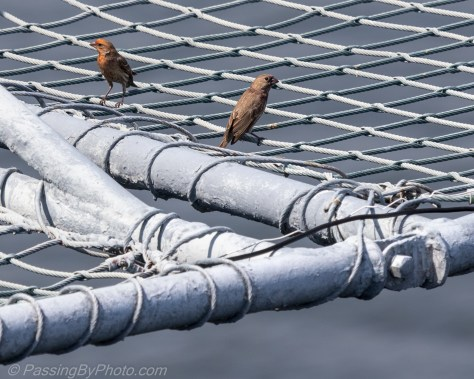 House Finches hanging off USS Yorktown