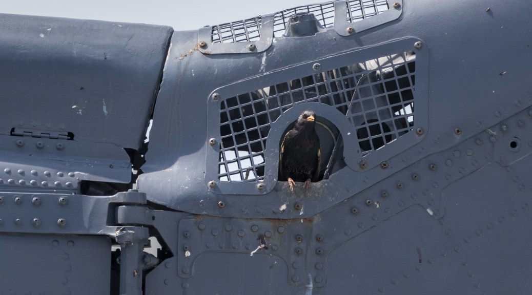 Grackle Nesting in Aircraft