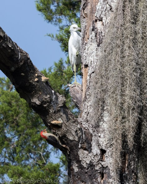 Red-bellied Woodpecker and Juvenile Little Blue Heron