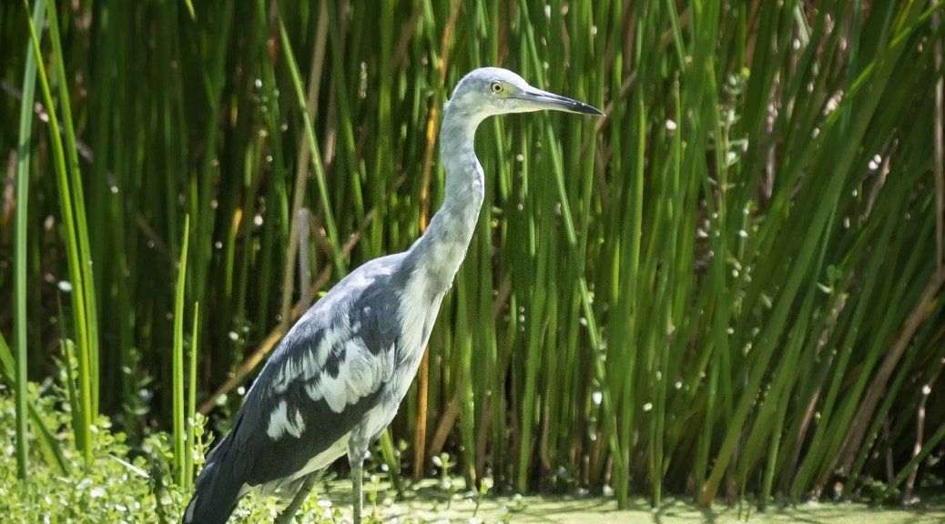 Young Little Blue Heron