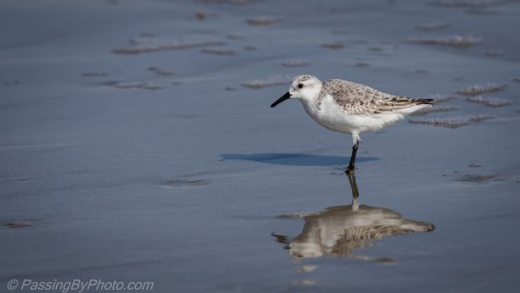 Shorebird Peep