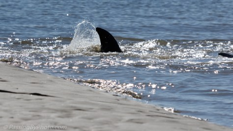 Dolphin Returning to Water