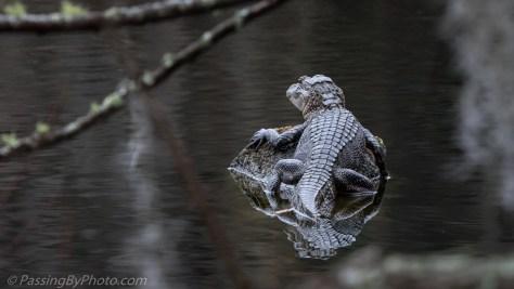 Alligator on a Rock