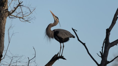 Great Blue Heron Calling for Mate