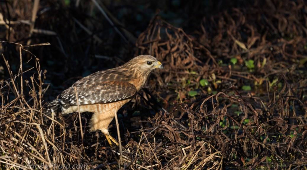 Red-shouldered Hawk Eating Frog