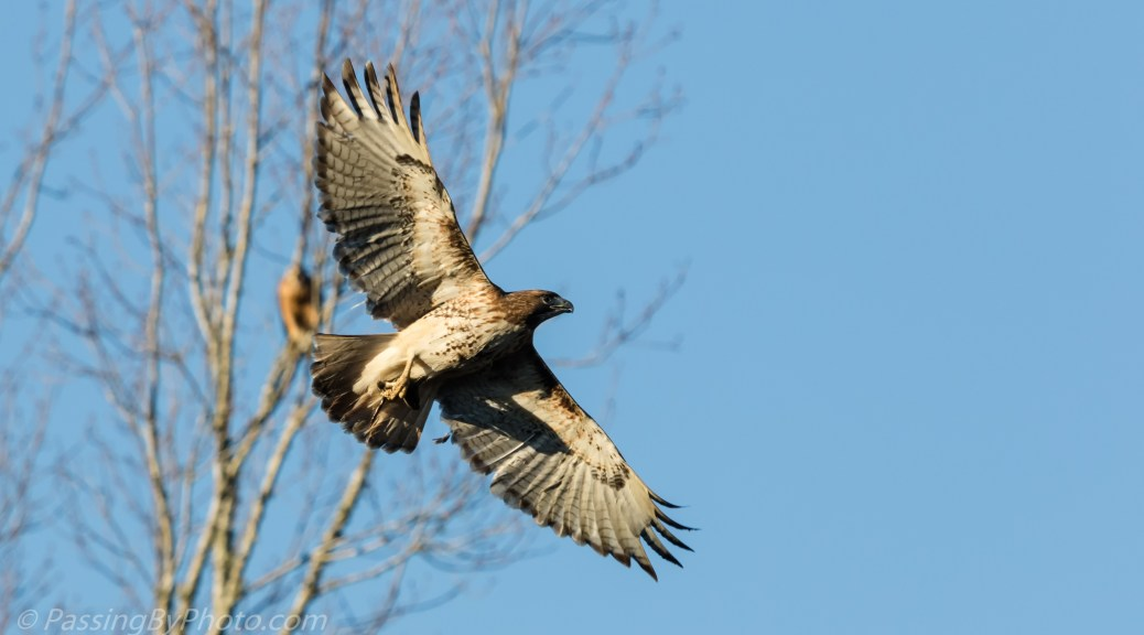 Red-shouldered Hawk Flying With Frog