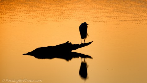Sun rise glow on Snowy Egret