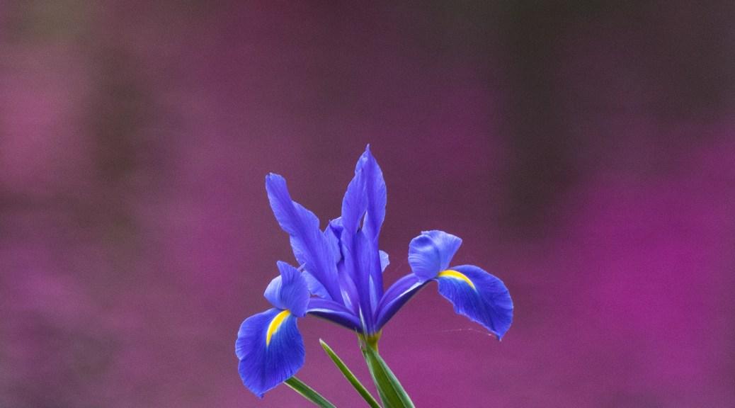 Iris with Azalea Reflection Background