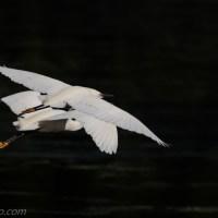 Snowy Egrets Synchronized Flying
