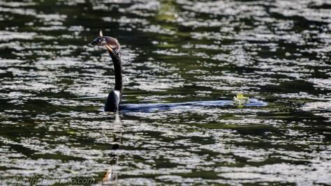 Anhinga Swimming with Fish