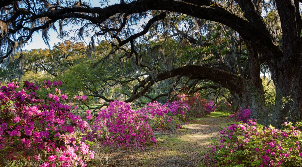 Azaleas Beneath Live Oaks