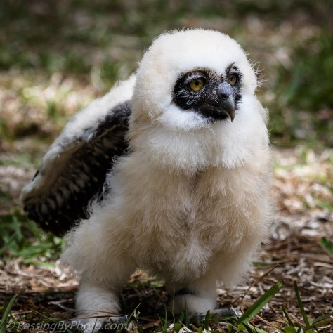 Spectacled Owl Chick