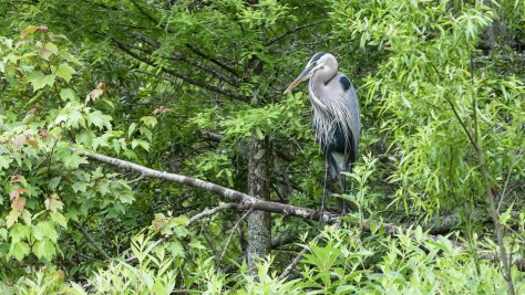 Great Blue Heron Adult