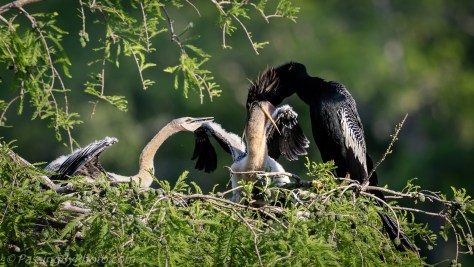 Anhinga Feeding Chicks