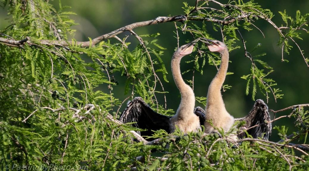 Anhinga Chicks Feeding