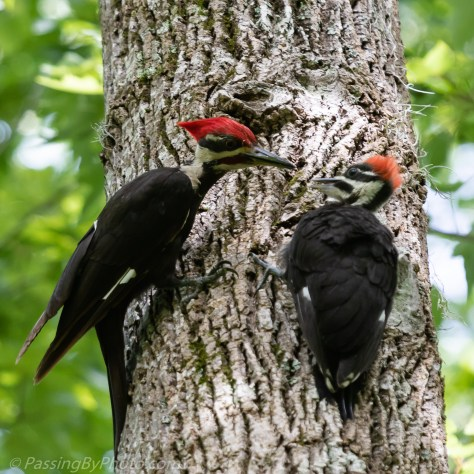 Pileated Woodpecker and Fledgling