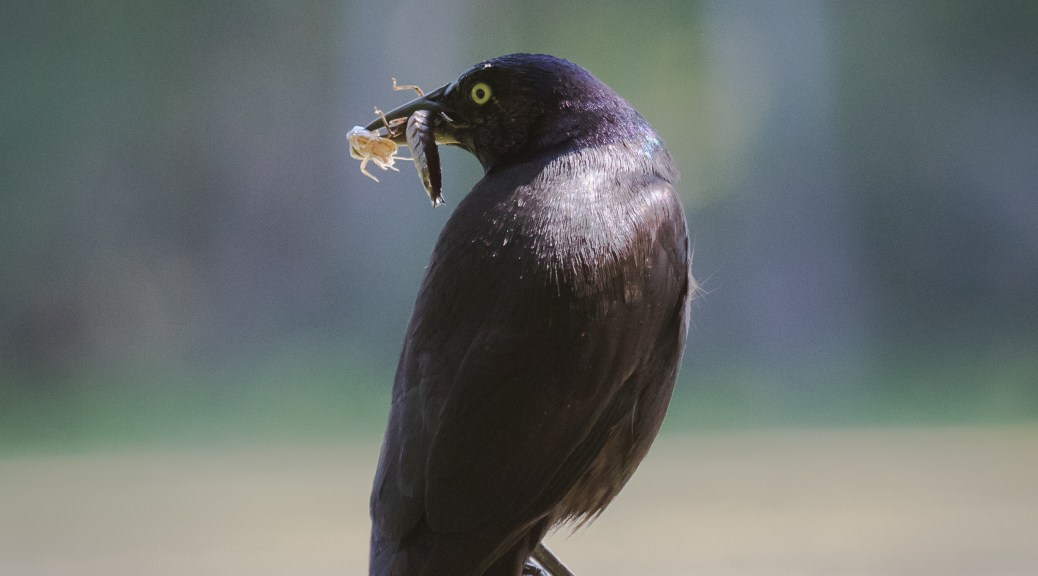 Grackle with Bugs