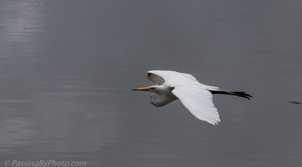 Great Egret Flying Over Ashley River