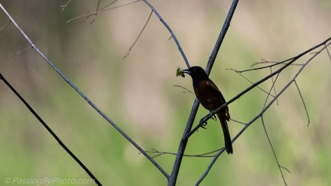 Male Orchard Oriole with Grasshopper