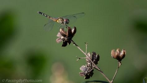 Dragonfly on Crepe Myrtle Seedpod