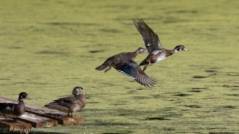 Wood Ducks Flying