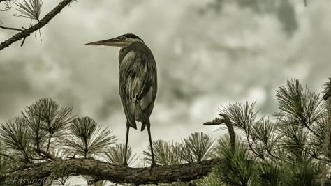 Great Blue Heron in Pine