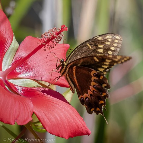 Butterfly on Red Star Hibiscus