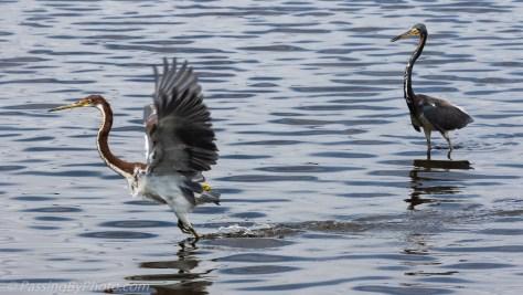 Tricorlored Herons