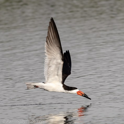 Black Skimmer Getting the Fish