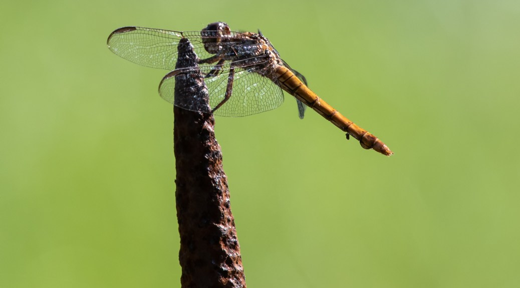 Dragonfly on Rusty Fence